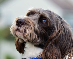 I know there's a treat coming (laurie.mccarty) Tags: dog portrait pet