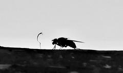 Mouche en action (regniernicole) Tags: vol noir insect insecte blackandwhite noiretblanc fly mouche