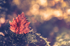 Beautiful autumn (Ro Cafe) Tags: sonya7iii autumn leaf branches forest sunlight backlight bokeh beautiful nature golden green nikkor2470f28 closeup