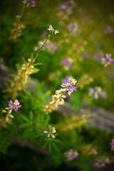 fence flowers II (sebboh) Tags: leicamsummilux50mmf14asph sonya7kolariut purple flowers bokeh portland oregon pdx