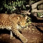Panthera pardus japoniensis … thumbnail