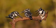 Three of a kind  -  Pied Kingfisher-7209 (Theo Locher) Tags: mkuze zimanga zimangagamereserve southafrica zuidafrika copyrighttheolocher birds vogels vögel oiseaux piedkingfisher cerylerudis bontvisvanger