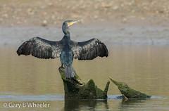 Cormorant (Ponty Birder) Tags: g b wheeler garywheeler pontybirder birds wales inexplore