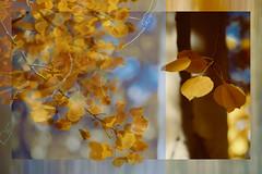 Yard (Karen McQuilkin) Tags: aspens quakies flutter golden trees yard utah