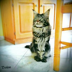 Maine coon cat posing (romeosilverpersian) Tags: mainecoon longhairedcats catphotos purebredcats cats cat gatti gatto