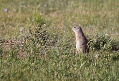 Prairie Dog (ashockenberry) Tags: prairie dog nature naturephotography natural native photo ashleyhockenberryphotography animal beautiful beauty savanna reserve travel tourism wildlife wildlifephotography wild wilderness west water prey majestic mammal mountains northern habitat game forest plains