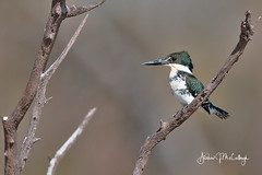 Green Kingfisher (Let there be light (Andy)) Tags: kingfisher greenkingfisher birds texas texasbirds southtexas esterollanogrande