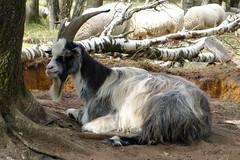 Nederlandse landgeit -Nationaal Park Maasduinen. (Cajaflez) Tags: dier geit nederlandslandgeit coth5 ngc
