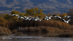 Bosque Del Apache_20A8589 (Alfred J. Lockwood Photography) Tags: alfredjlockwood nature wildlife birds waterfowl snowgeese bosquedelapachewildliferefuge newmexico afternoon autumn pond grasses flight migration