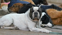 Doggie School Pupils (Parque México) I (Carl Campbell) Tags: nikond5200 mexicocity cdmx parqueméxico dogs
