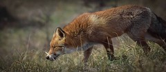 Red Fox hunting (rode vos jagend) (moniquedoon) Tags: fox wildlife autumn vos beatwildlife