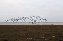 Birds on Toft Marsh (JonCombe) Tags: coastwalk219 lincolnshire lincs coast marshes the wash thewash