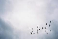 Bedminster wheel, October (knautia) Tags: bedminster pigeons flock wheeling bristol england uk october 2018 film ishootfilm olympus xa2 olympusxa2 kodak ektar 100iso nxa2roll82 wheelingbirds myfavouritefromtheroll