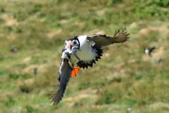 puffin2733 (m.c.g.o) Tags: pembrokeshire skomer wales island june 2018 fratercula arctica seabirds birds 30th flight flying sand eels