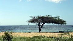 Serengeti Tree @ Aruba Beach, Caribbean