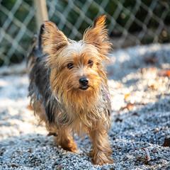 Yoko13Oct201873.jpg (fredstrobel) Tags: dogs pawsatanta atlanta usa animals ga pets places pawsdogs decatur georgia unitedstates us