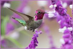 Anna's Hummer 4591 (maguire33@verizon.net) Tags: annas annashummingbird bif hummingbird losangelescountyarboretum mexicanbushsage bird hummer wildlife arcadia california unitedstates us