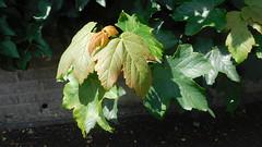 Autumn  Colours (claire artistandpoet Stroke Survivor) Tags: leaves colour change autumn