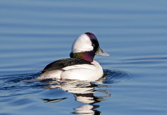 Bufflehead (Ed Sivon) Tags: america canon nature lasvegas wildlife wild western water white southwest desert duck clarkcounty vegas flickr bird henderson nevada preserve