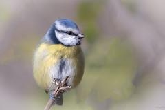 Mésange bleue (gilbert.calatayud) Tags: cyanistescaeruleus eurasianbluetit mésangebleue paridés passériformes bird oiseau busque tarn occitanie