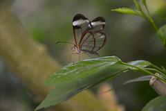 Glasswing Butterfly (Greta oto) (Seventh Heaven Photography) Tags: glasswing butterfly gretaoto greta oto insect nikond3200 chester zoo cheshire wildlife closeup bokeh