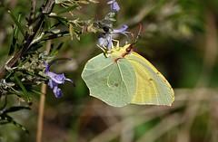 Le ultime farfalle - The last butterflies (Jambo Jambo) Tags: farfalla butterfly macro sonydscrx10m4 jambojambo fiori flowers rosmarino rosemary gonepteryxcleopatra cleopatra cleopatrabutterfly cedronella