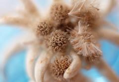 Edelweiss flower (zinnia2012) Tags: edelweiss flower touch texture seeds 30daysofperception day4