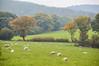 Minsterley, Shropshire (Seventh Heaven Photography **) Tags: autumn nikon d3200 colours leaves trees field landscape sheep minsterley shropshire shrewsbury