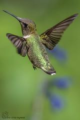 Ruby-throated Hummingbird. It's that you again? (Estrada77) Tags: hummingbirds rubythroatedhummingbird small birds birding wildlife outdoors spring2018 aug2018 illinois foxriver animals nature nikon nikond500200500mm
