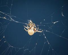 Dinner Time for the Orb Weaver Spider (kimkullman) Tags: 300mm nikon night time dinner arachnid insect web legs bug spider weaver orb garden crucifera neoscona