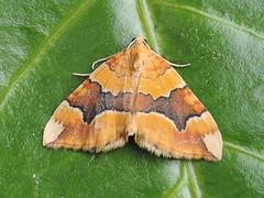 Barred Yellow. At light Kettering. (bjward52) Tags: barredyellow