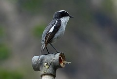 Grey Bushchat - Male - Western Himalayas ~2000m Altitude (forest - Thanks - 6.7 M+ views ...) Tags: bird poll garden restaurant resort beautiful birding bokeh lovely looks light outstanding common outside outdoor outer life long tiny small bushchat