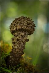 X X X . Strobilomyces strobilaceus . (TOYOGRACOR) Tags: mushrooms setas mygearandme naturaleza hongos fungi fungus mywinners aplusphoto macro flickrdiamond bej canon explore flickr dof mygearandmepremium mygearandmebronze mygearandmesilver theoriginalgoldseal soe flickrs bosque godlovesyou fav50 fav100 seta otoño autumn macrofotografía verde bokeh strobilomycesstrobilaceus