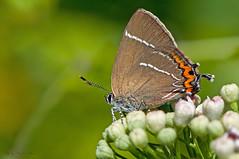 Satyrium W-album (Knoch 1782) (ajmtster) Tags: flor macro invertebrados mariposa mariposas lepidopteros licenidos lycaenidae satyriumwalbum satyrium wblanca butterfly butterflies