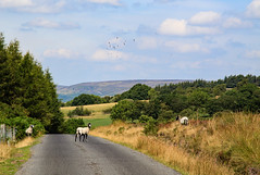 Out For a Stroll (maureen bracewell) Tags: yorkshire landscape england uk sheep walking countryside cannon rural farming moorland trees nature maureenbracewell