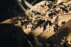 September's end (lucymagoo_images) Tags: sony rx100 philadelphia philly urban city leaf veins skeleton autumn fall brown detail sunlit nature
