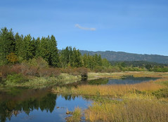 Sanctuary (Shelley Penner) Tags: vancouverisland ducksunlimited wetland water pond yellow grassland grass autumn
