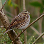 Savannah Sparrow thumbnail