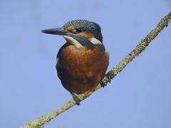 Kingfisher (PhotoLoonie) Tags: kingfisher bird wildbird wildlife nature
