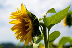 Sunflower (shannon_blueswf) Tags: sunflower sunflowers nature naturephotography flower autumn fall nikon nikonphotography nikond7500 nikonnofilter nikonusa beautiful beautyinnature tennessee tennesseemountains tennesseevalley faith loylty adoration sun sunshine backlight