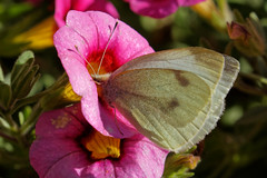 F36A0138_DxO_r2500 (solkatt64) Tags: butterfly insect nature macro