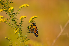 7K8A7874 (rpealit) Tags: scenery wildlife nature weldon brook management area monarch butterfly
