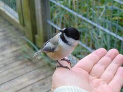 Black-capped chickadee on my hand (1) (Quevillon) Tags: canada québec laurentides thérèsedeblainville rosemère park parcdelarivièredesmilleîles tyleemarsh bird blackcappedchickadee