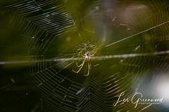 McKee-1 (Les Greenwood Photography) Tags: spider nature wildlife tree mckee florida