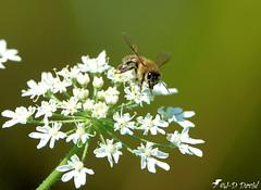 Abeille 10 (Jean-Daniel David) Tags: insecte insectevolant abeille butineuse bokeh fleur berce blanc vert ombellifère nature réservenaturelle closeup grosplan macro verdure tige yverdonlesbains suisse suisseromande vaud
