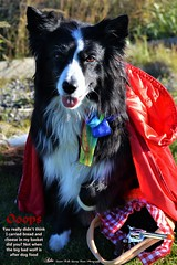 Ooops now you know what us girls carry in our handbags (ASHA THE BORDER COLLiE) Tags: funny halloween picture dog costume little red ridinghood ashathestarofcountydown connie kells county down photography
