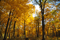 trees of gold (christiaan_25) Tags: maples trees autumn fall leaves color yellow gold season trunks black contrast woods forest nature outdoors outside mortonarboretum
