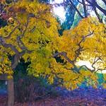 Yellow Japanese Maple thumbnail