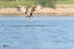 Osprey with a fresh catch! (Todd Ryburn) Tags: osprey fish catch birdinflight lake