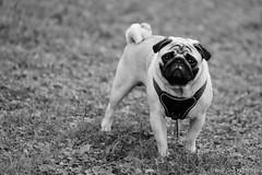 Baron 1YY (wketsch) Tags: grass dog pug garden baron autumn